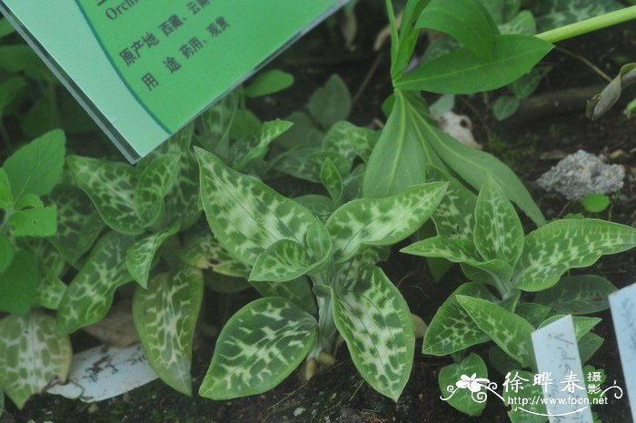 小斑叶兰Goodyera repens