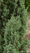 落基山圆柏品种Juniperus scopulorum 'Skyrocket'
