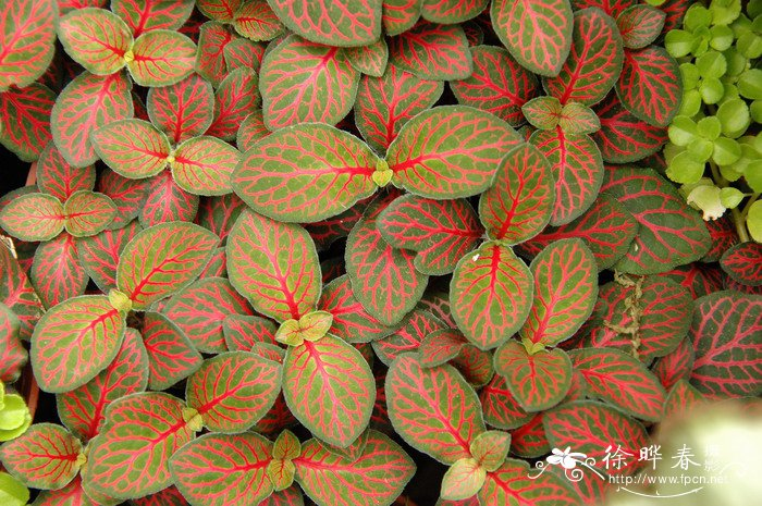 中文名(Chinese Name):红网纹草 学名(Scientific Name):Fittonia verschaffeltii (Lemaire) van Houtte 英文名(English Common Name): 别名(Chinese Common Name):网脉爵床、花脉爵床 异名(Synonym): 科属(Family & Genus):爵床科(Acanthaceae)网纹草属 形态特征(Description):多年生常绿草本植物,株高10~20厘米。植株低矮,呈匍