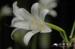 长筒石蒜Lycoris longituba