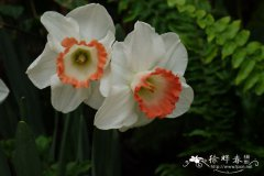 洋水仙 Narcissus pseudonarcissus