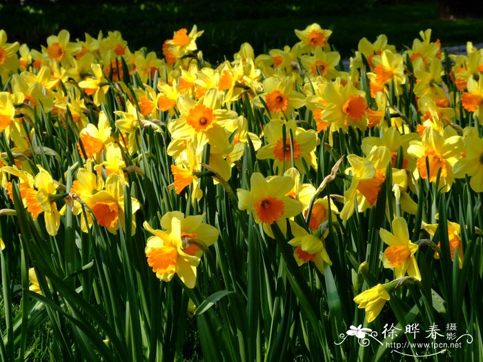 洋水仙 Narcissus pseudonarcissus_花卉图片网