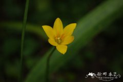 黄花葱兰Zephyranthes citrina