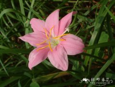 韭兰Zephyranthes carinata