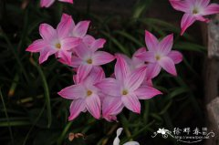 杂交韭兰Zephyranthes spp.