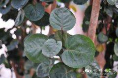 乔木/圆叶福禄桐Polyscias scutellaria