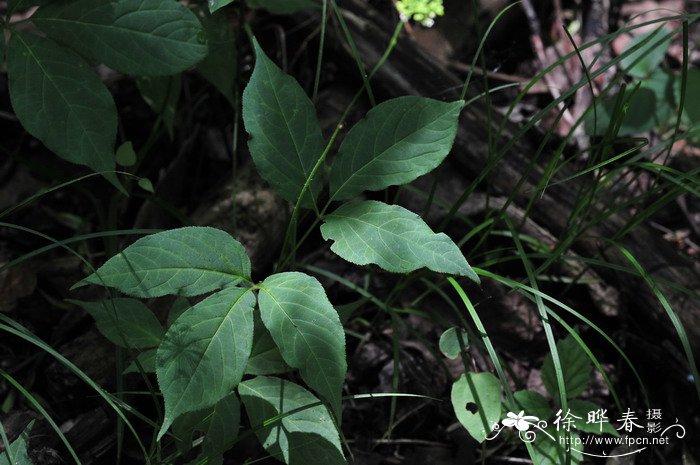 大叶三七panax japonicus