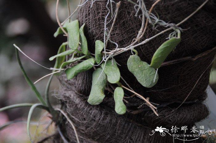 缅甸球兰图片_自制球兰花架子图片_球兰刚长花蕾的图片