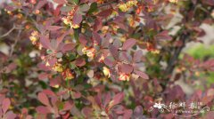 '玫红光辉'日本小檗Berberis thunbergii 'Rose Glow'
