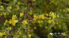 '帕克维'中间小檗Berberis × media 'Parkjuweel'