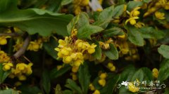 '威廉姆'小檗Berberis gladwynensis 'William Penn'