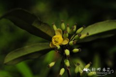 长柱小檗Berberis lempergiana