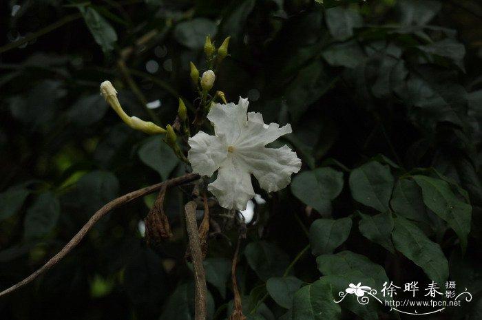 美叶菜豆树radermachera