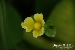 黄花蔺Limnocharis flava