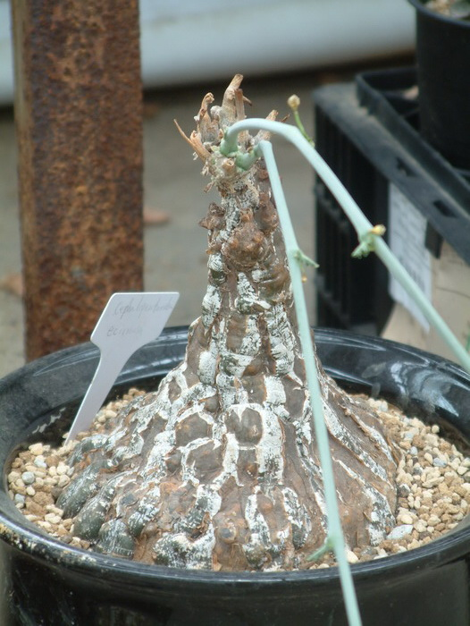 ǝ�布袋cephalopentandra Ecirrhosa Ȋ�卉图片网