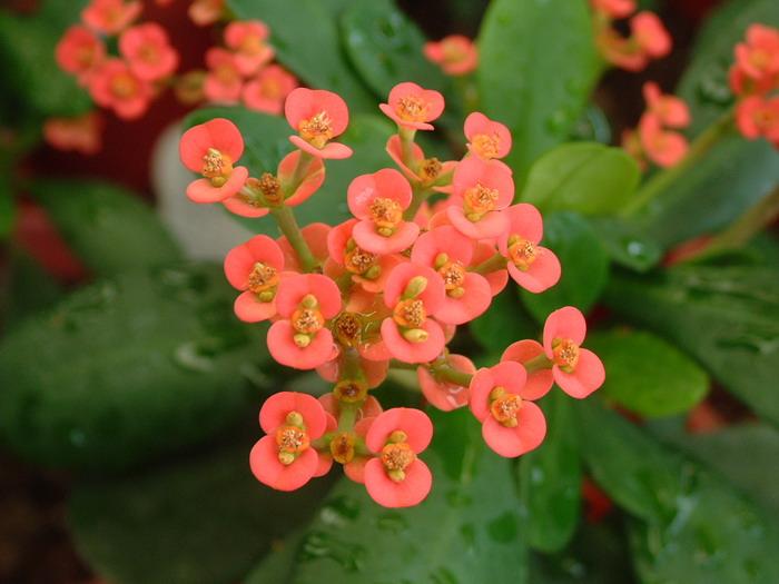 色情小樱_小花虎刺梅Euphorbia milii var. imperata_花卉图片网