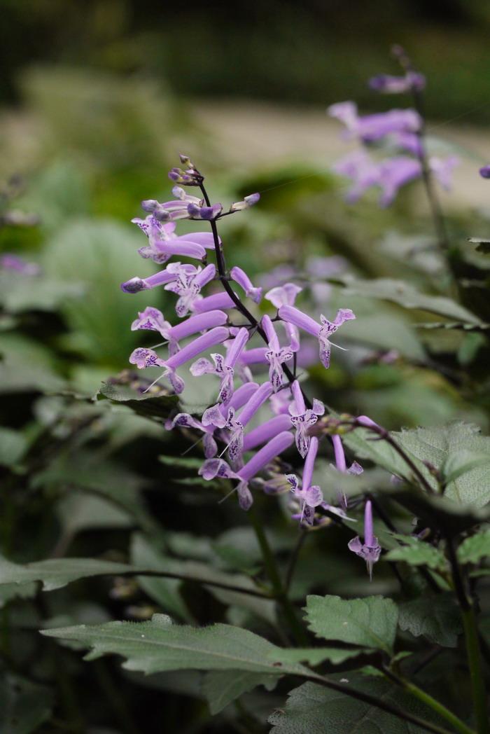 特丽莎香茶菜Rabdosia 'Mona Lavender'_花卉图片网