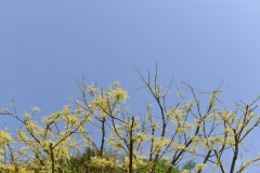 金枝国槐Sophora japonica 'Golden Stem'