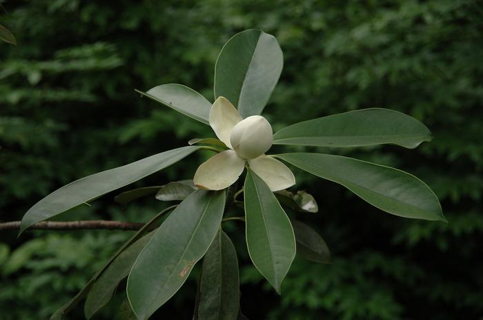 厚叶木莲 manglietia pachyphylla