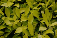 黄金榕Ficus microcarpa 'Golden Leaves'