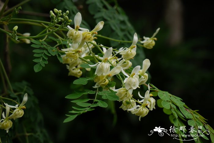 辣木moringa oleifera
