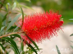 皇帝红千层Callistemon 'King's Park'