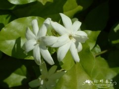 毛茉莉Jasminum multiflorum