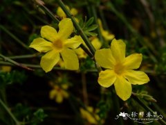 迎春 Jasminum nudiflorum