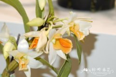 '曙光'石斛Dendrobium Frosty Dawn