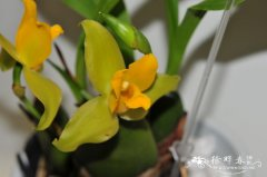 '专注'薄叶兰 Lycaste Concentration