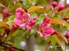 '红丽'海棠 Malus 'Red splender'