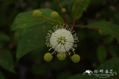 风箱树Cephalanthus occidentalis