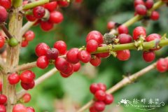 小粒咖啡Coffea arabica