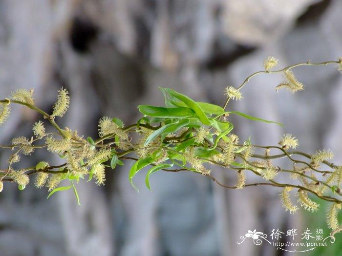 龙爪柳 tortusoa salix matsudana/用种子,扦插和埋条等方法繁殖。
