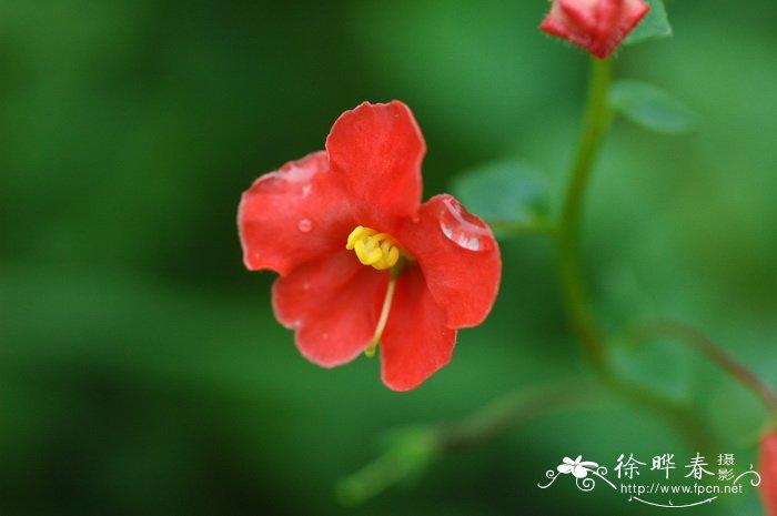 心叶假面花alonsoa meridionalis