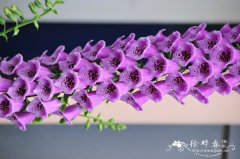 毛地黄Digitalis purpurea