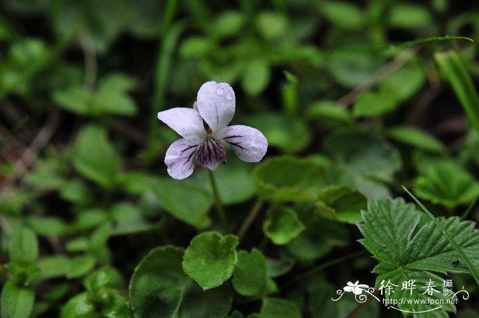 圆叶堇菜viola striatella图片
