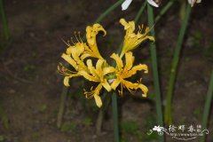 中国石蒜Lycoris chinensis
