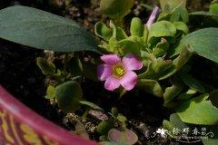 鸡毛菜酢浆草Oxalis monophylla 'Dysseldorp'