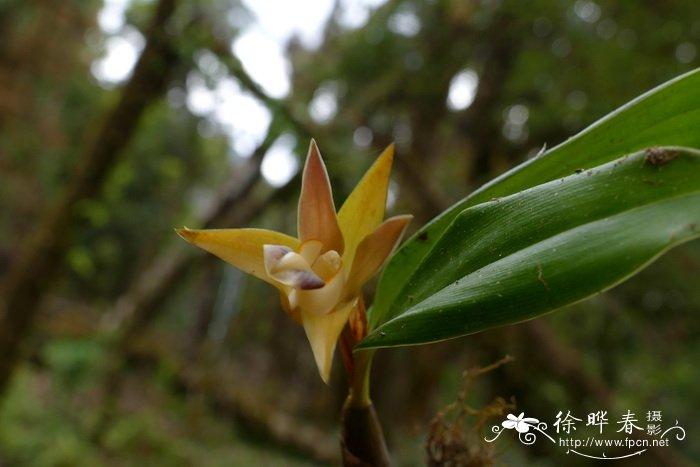 双叶厚唇兰epigeneium rotundatum_花卉图片网图片