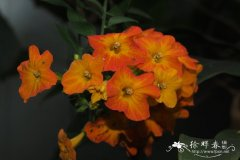 扭管花 Streptosolen jamesonii