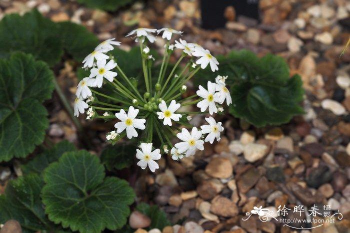 叶苞点地梅androsace rotundifolia图片