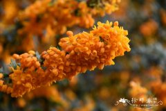 '橙国王'三棱小檗Berberis trigona 'Orange King'