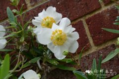 茶花常山Carpenteria californica