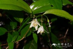 金佛山万寿竹Disporum jinfoshanense