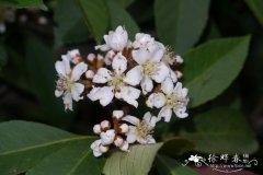 香花枇杷Eriobotrya fragrans