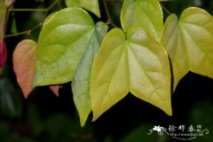 箭羽龙须藤 Bauhinia curtisii
