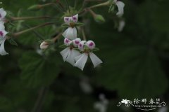 白花天竺葵 Pelargonium album