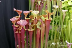 '红叶'黄瓶子草 Sarracenia flava Red Tube