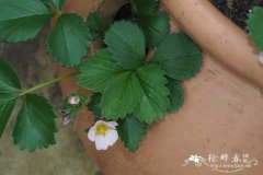 '草莓杂交品种 Fragaria x ananassa 'Just Add Cream